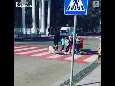 У Грузії безпритульний пес допомагає дітям переходити дорогу (ВІДЕО)