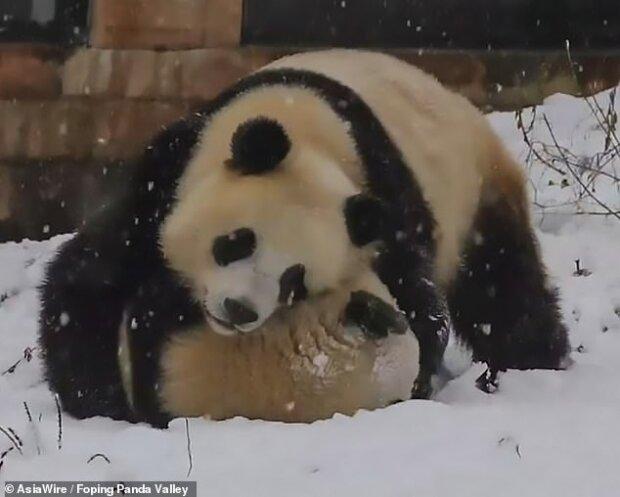 У Китаї панди тішаться снігу (ФОТО)