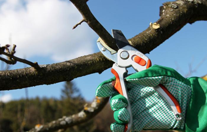 У Франківську визначили, хто цьогоріч підрізатиме дерева. Тендер виграв не найдешевший варіант