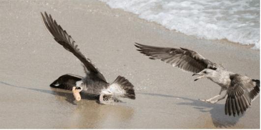 Американка випадково сфотографувала, як чайки б'ються за фалоімітатор (ФОТО)