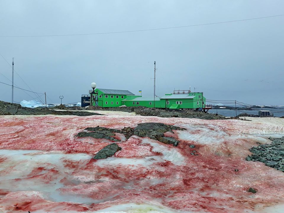 """В Антарктиді """"зацвів"""" сніг: став малиновим (ФОТО)"""