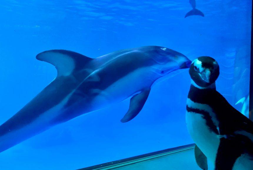 Чиказький океанаріум закрили для відвідувачів – тепер залами гуляють пінгвіни (ФОТО, ВІДЕО)