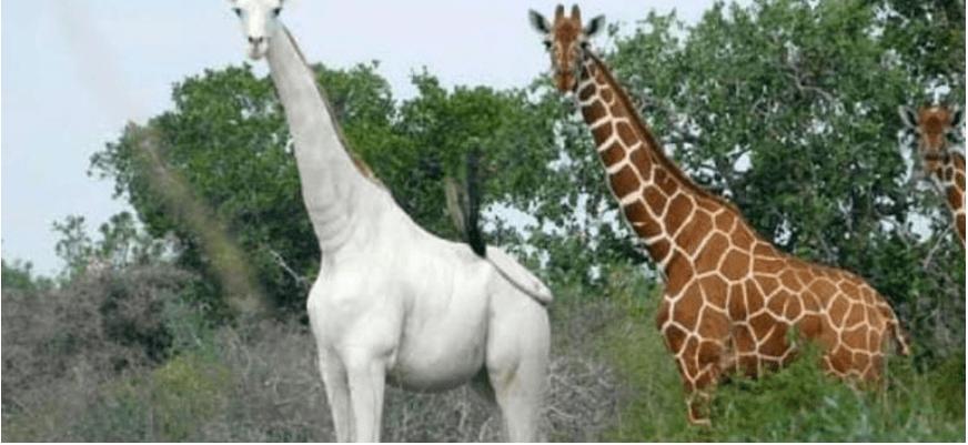 Через браконьєрів у світі залишився лише один білий жираф (ВІДЕО)