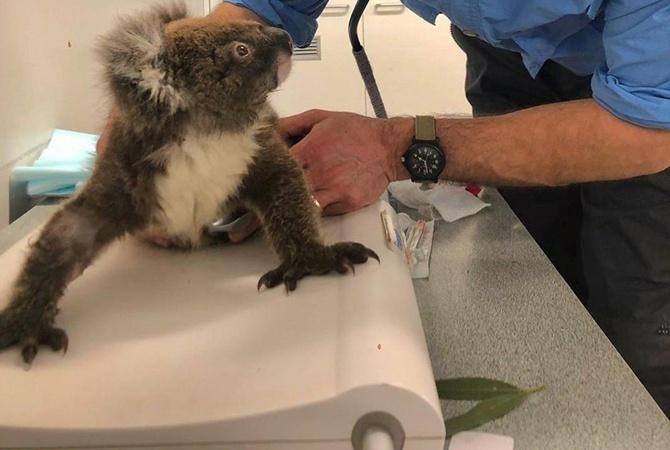 Коал, які постраждали через пожежі в Австралії, повернули в дику природу (ВІДЕО)