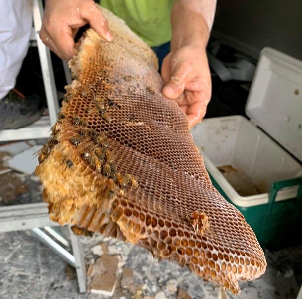 У США рій бджіл зібрав 45 кг меду під стелею квартири (ФОТО, ВІДЕО)