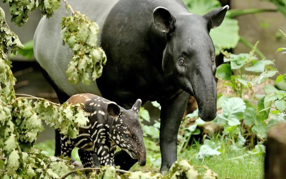 У дикій природі Бразилії вперше за 100 років народився тапір
