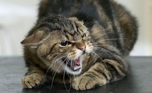 """В мережі стає популярним додаток-перекладач з """"котячої мови"""" на людську"""