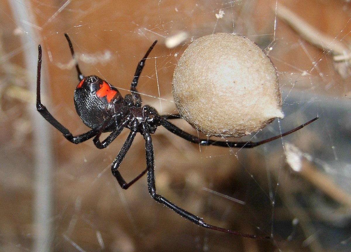 Болівійські хлопці дали отруйному павуку себе вкусити, щоб стати «спайдерменами». Не спрацювало