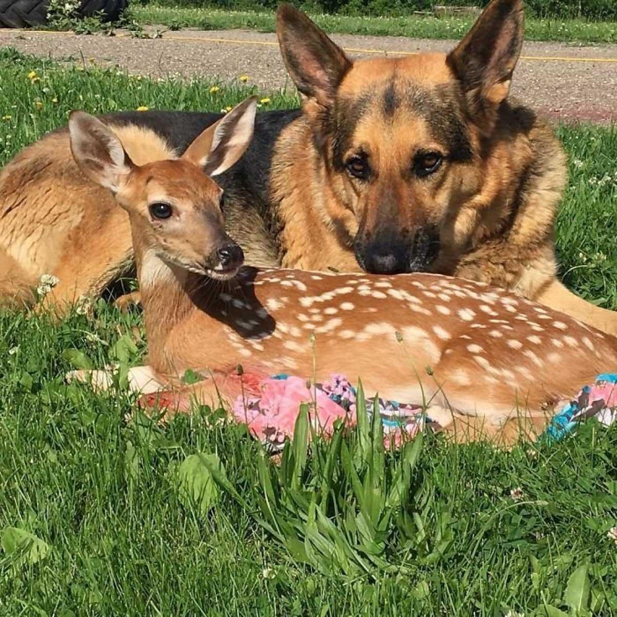 Пес усиновив осиротілих оленят – і став зіркою Instagram (МИЛІ ФОТО)