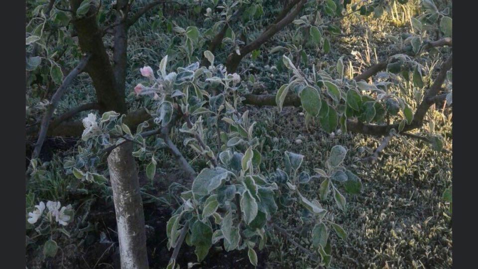 Вночі на область опустилися заморозки, які пошкодили городину прикарпатців (ФОТО)