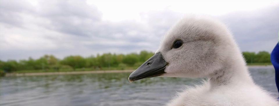 На Німецькому озері врятували пташеня лебедя (ФОТО)