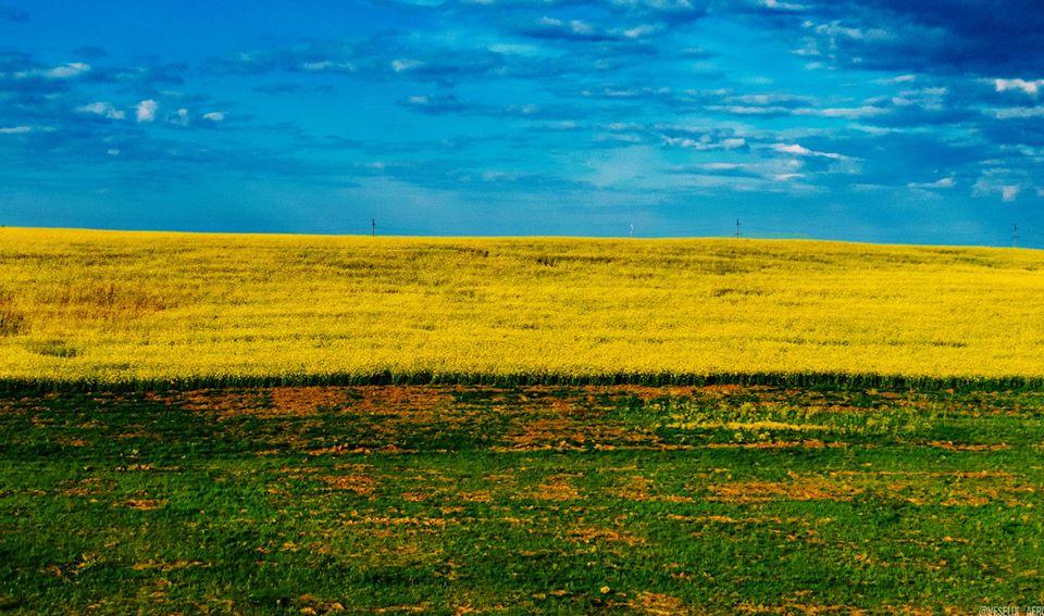 Довкола Франківська рясно квітнуть поля з ріпаком (ГАРНІ ФОТО)