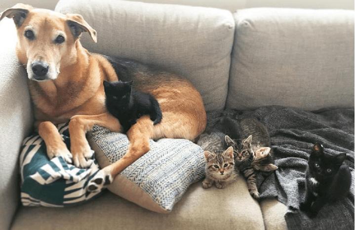 У Канаді пес виховав 60 покинутих кошенят