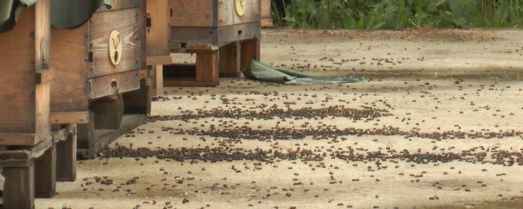 Прикарпатські пасічники скаржаться на отруєння бджіл (ВІДЕО)