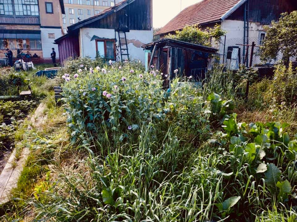 У Коломиї жінка вирощувала заборонені квіти. Мала 500 рослин (ФОТО)