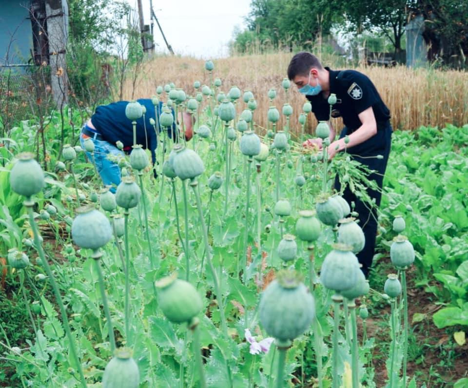 На Прикарпатті поліцейські виявили посів незаконного маку (ФОТО)