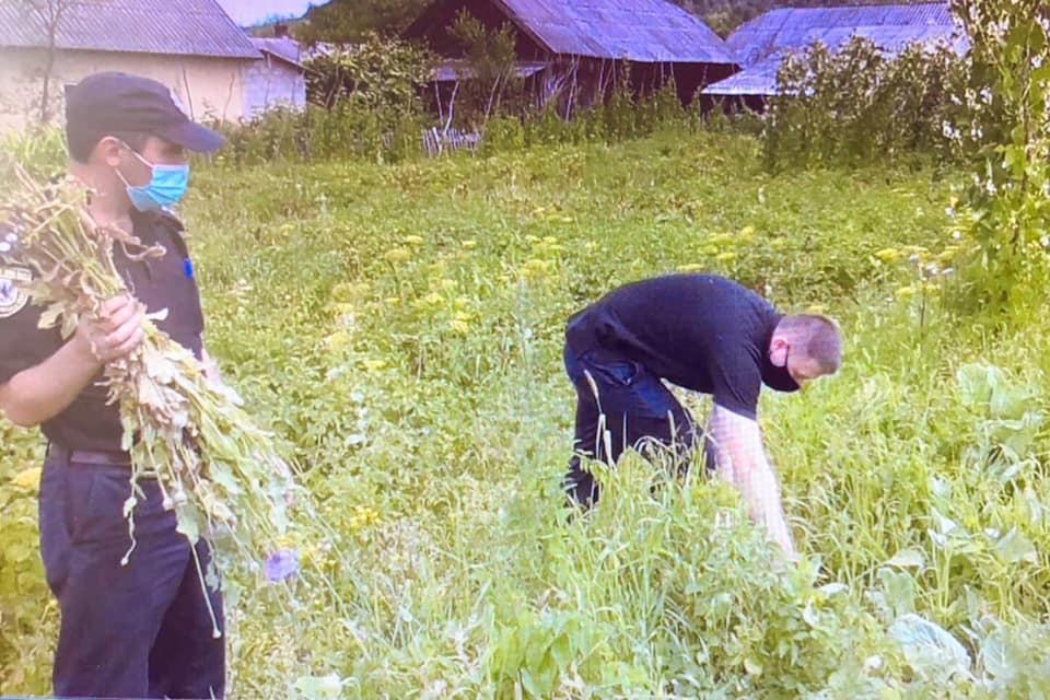 У Богородчанському районі виявили майже 1000 рослин снодійного маку (ФОТО)