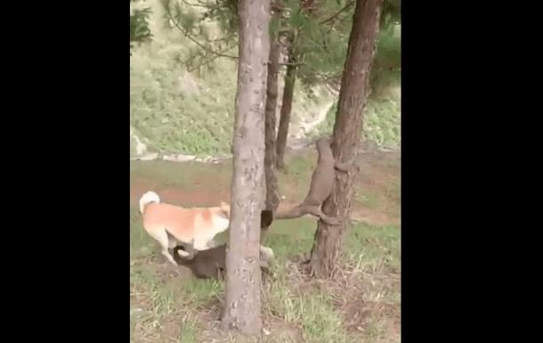 В Індії собаки стягнули варана з дерева (ВІДЕО)