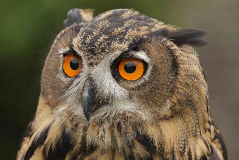 """""""Найбільшу сову Європи"""" прихистили у Галицькому нацпарку (ВІДЕО)"""