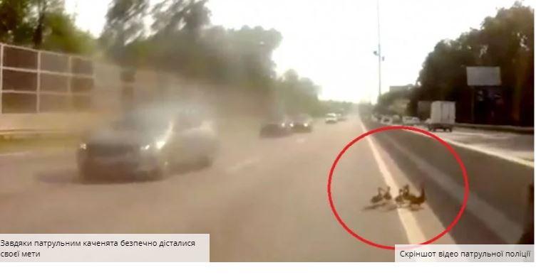 Патрульні зупинили рух на трасі Київ — Одеса через зграю каченят (КУМЕДНЕ ВІДЕО)