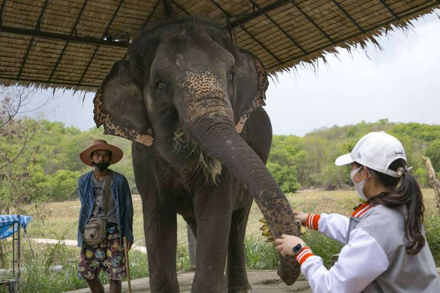 Через COVID-19 більше тисячі слонів в Таїланді залишились без роботи