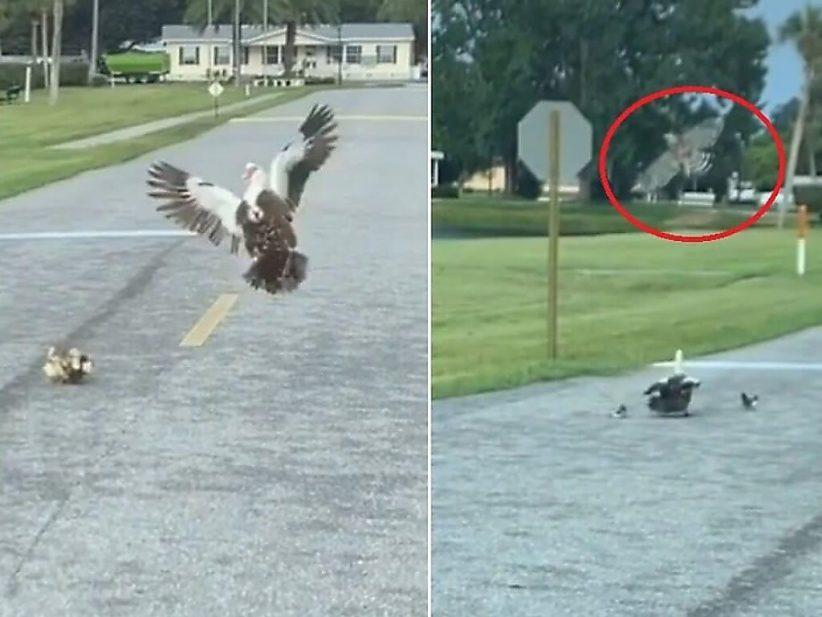 Як хоробра мама-качка захистила пташенят від хижака (кумедне ВІДЕО)