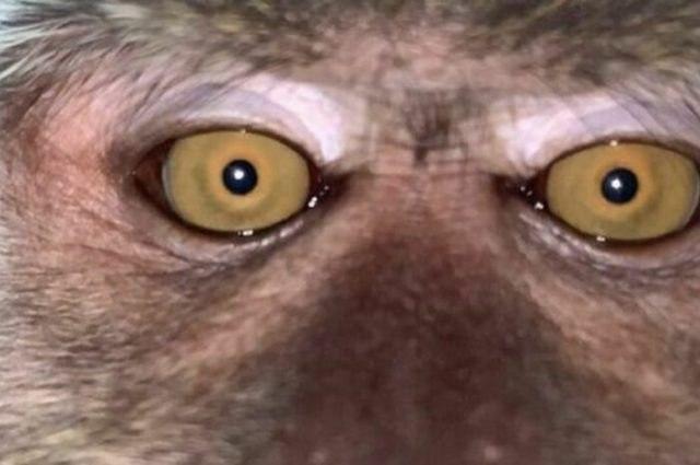 Мавпа вкрала у мешканця Малайзії айфон і наробила селфі