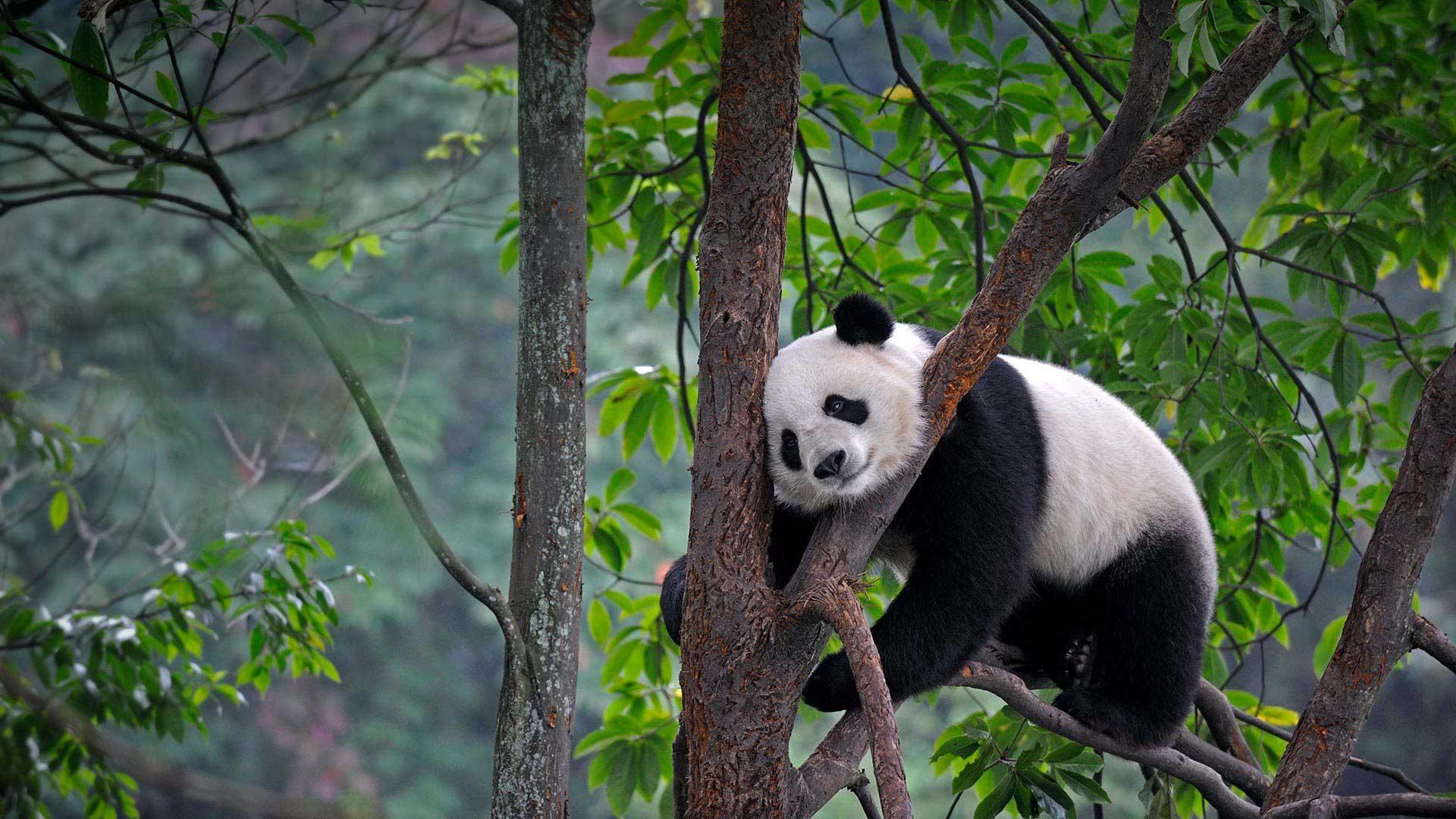 У Китаї одразу 14 панденят відсвяткували свій перший день народження (ВІДЕО)