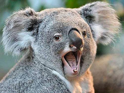 Обурена небажаним сусідством коала розкричалась (КУМЕДНЕ ВІДЕО)