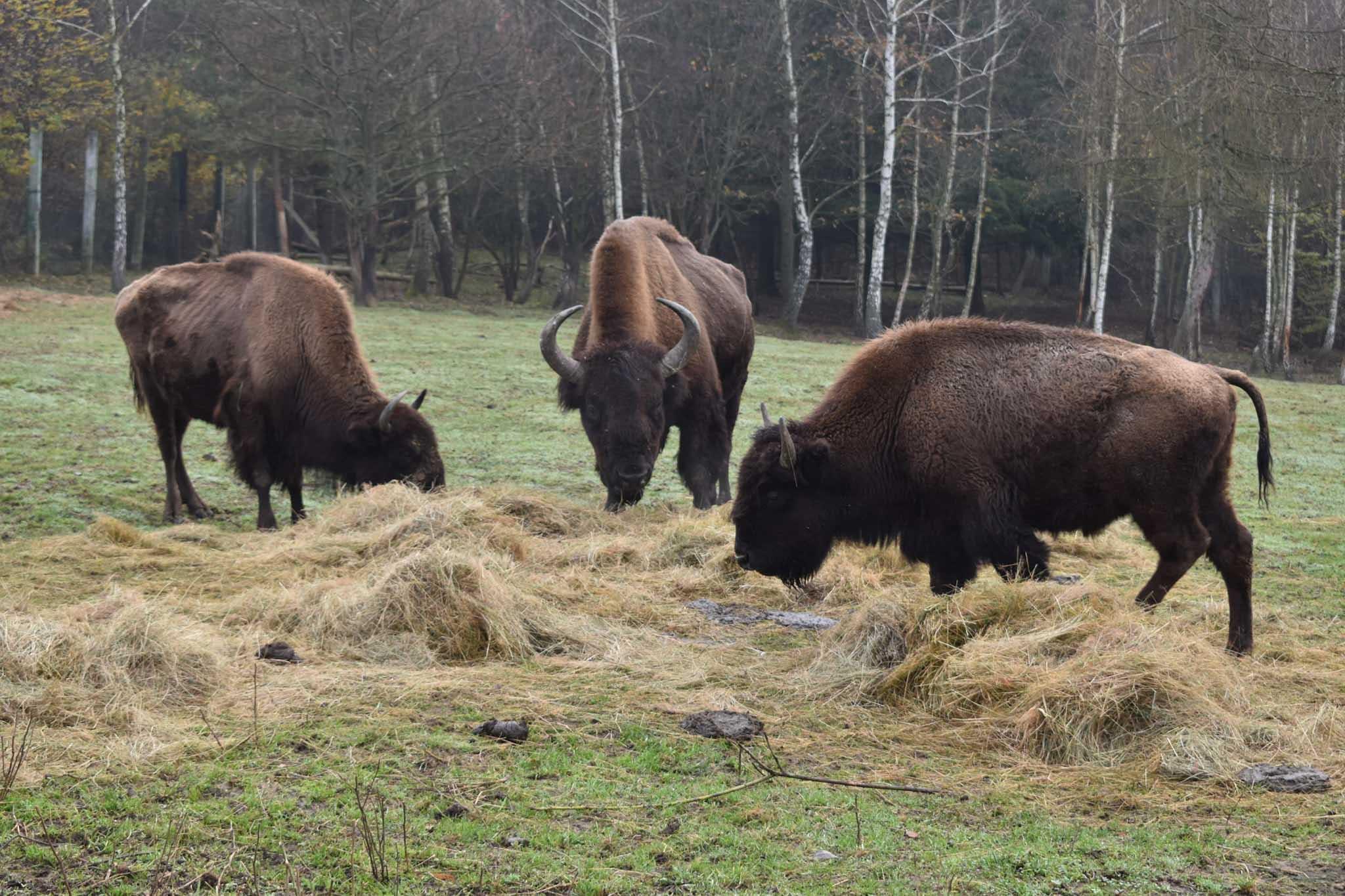 Бізони з Долинщини відтепер живуть у Галицькому нацпарку (ФОТО)