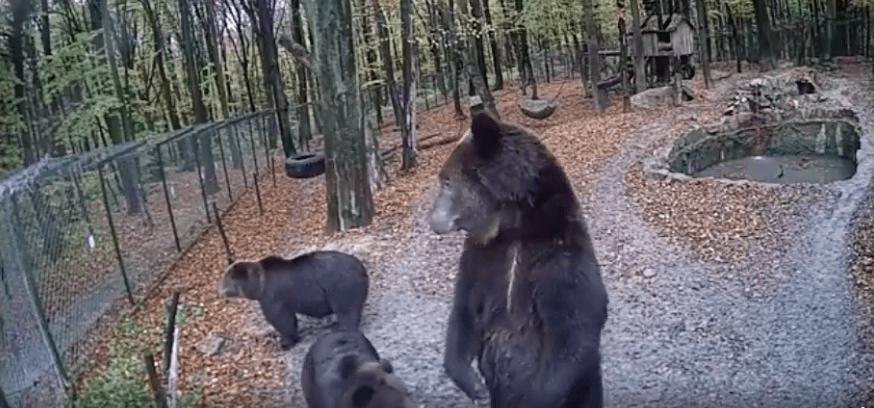 У мережі поділилися кумедним відео з ведмедями Галицького нацпарку (ВІДЕО)
