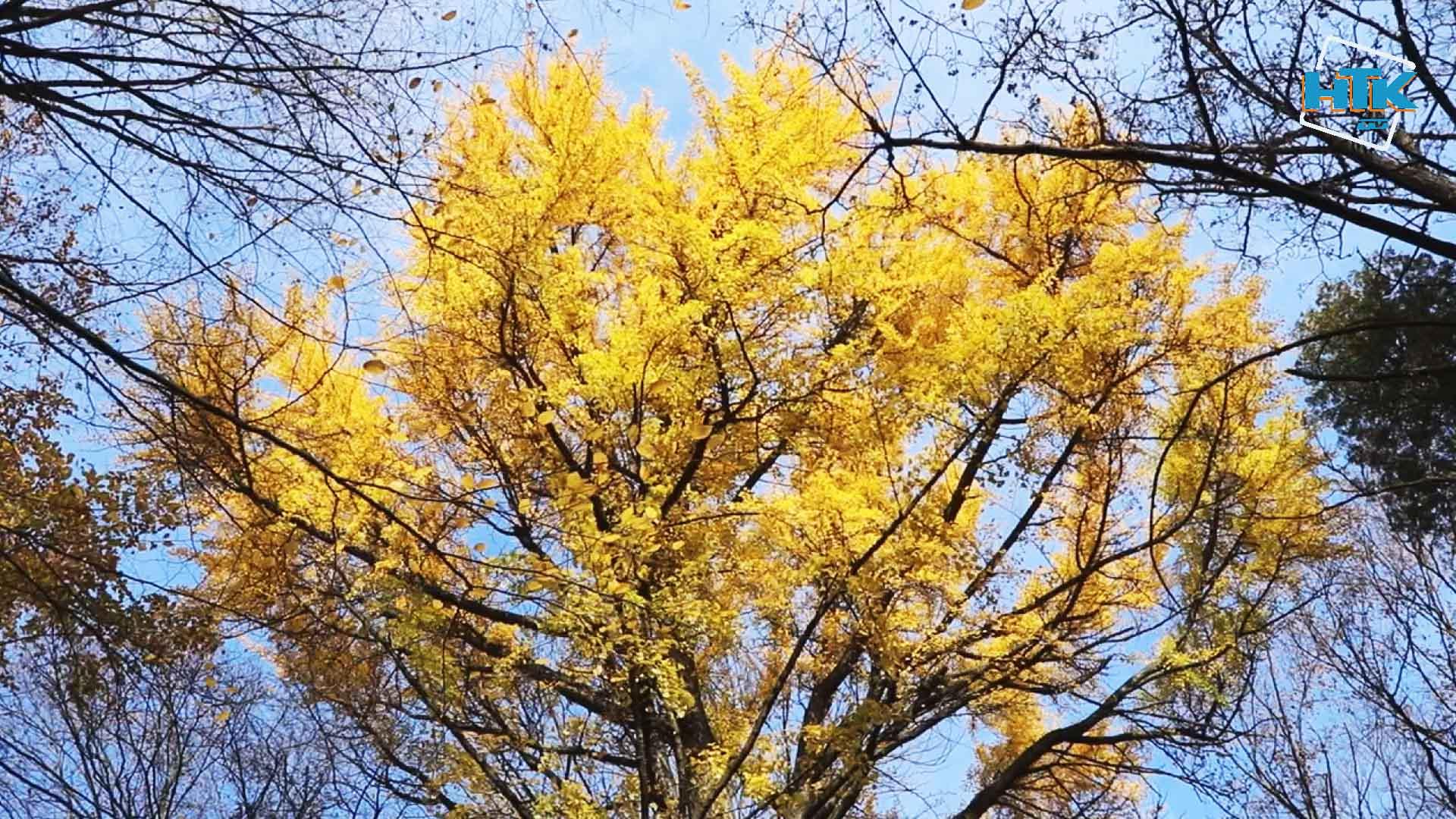 """""""Цілющі"""" дерева ростуть у Коломиї (ВІДЕО)"""