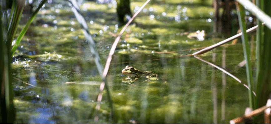 У Франції суд вирішив виселити жаб зі ставка через занадто гучне квакання
