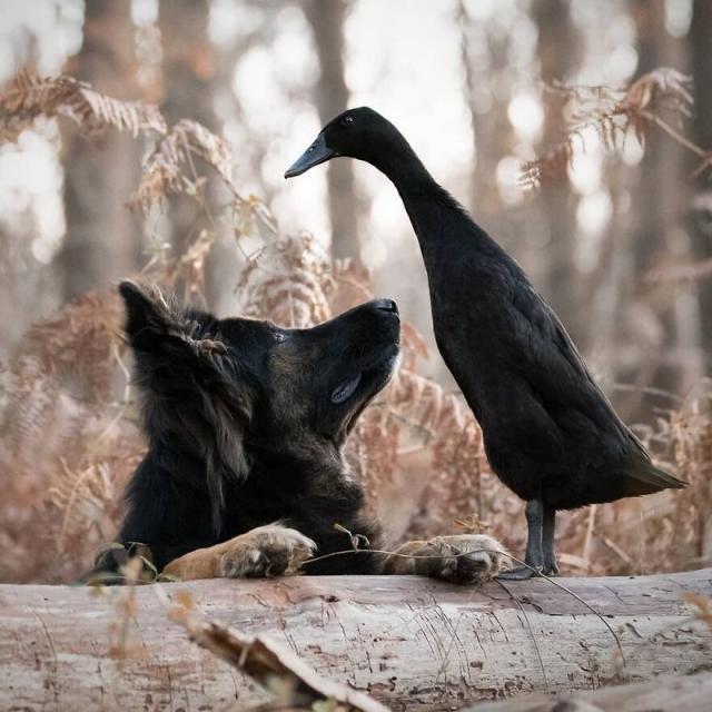 Користувачів мережі вразила дружба собаки з качкою (ФОТО)