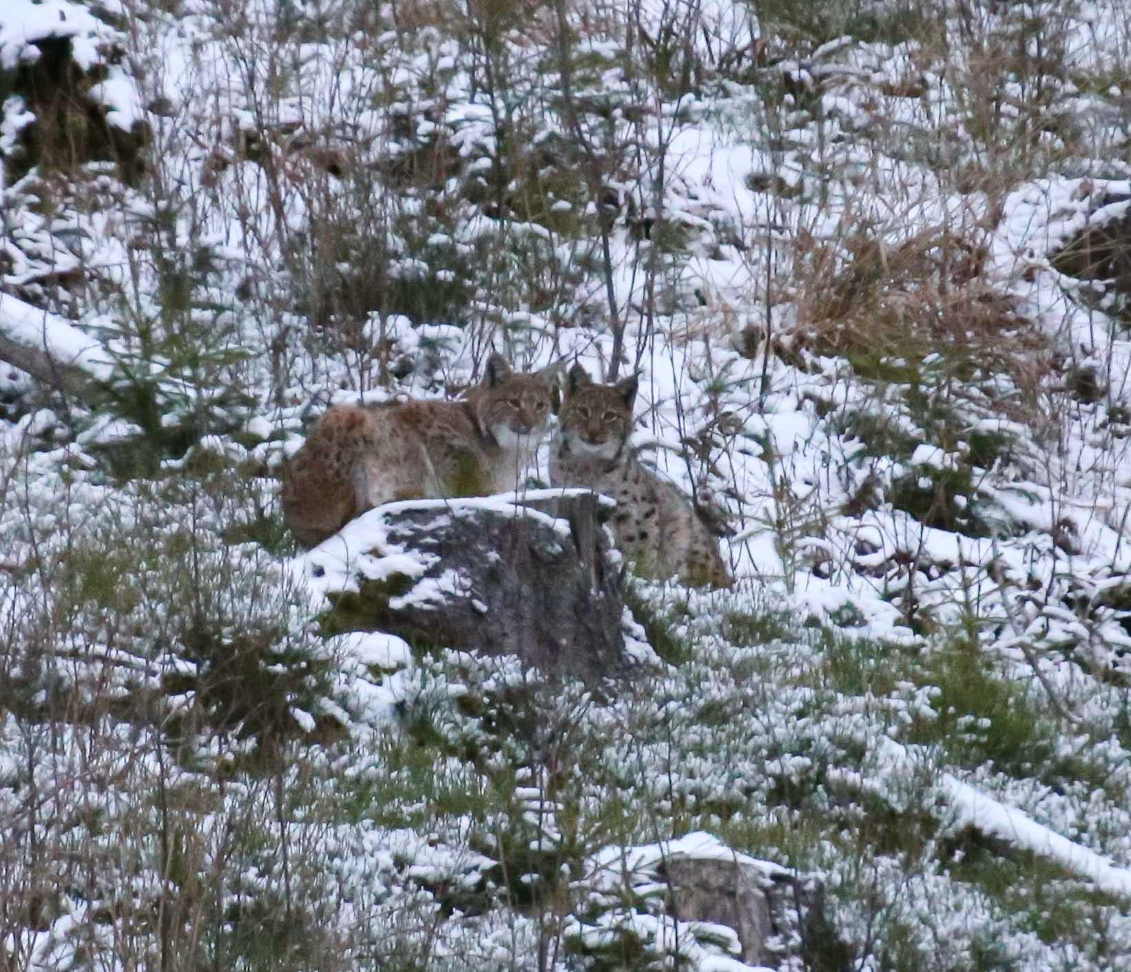 Позують рисі: прикарпатець у горах спіймав на фото двох лісових кішок (СВІТЛИНИ)