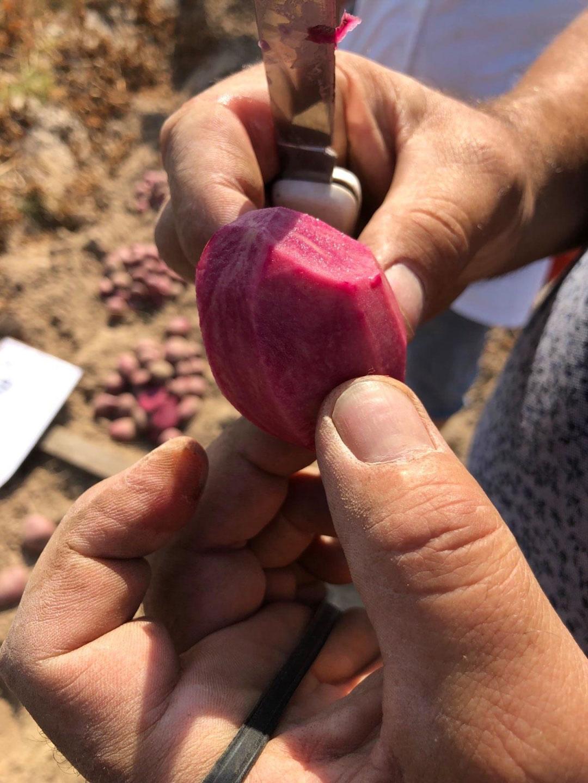 Фіолетова картопля: в Україні вивели нові унікальні сорти (ФОТОФАКТ)