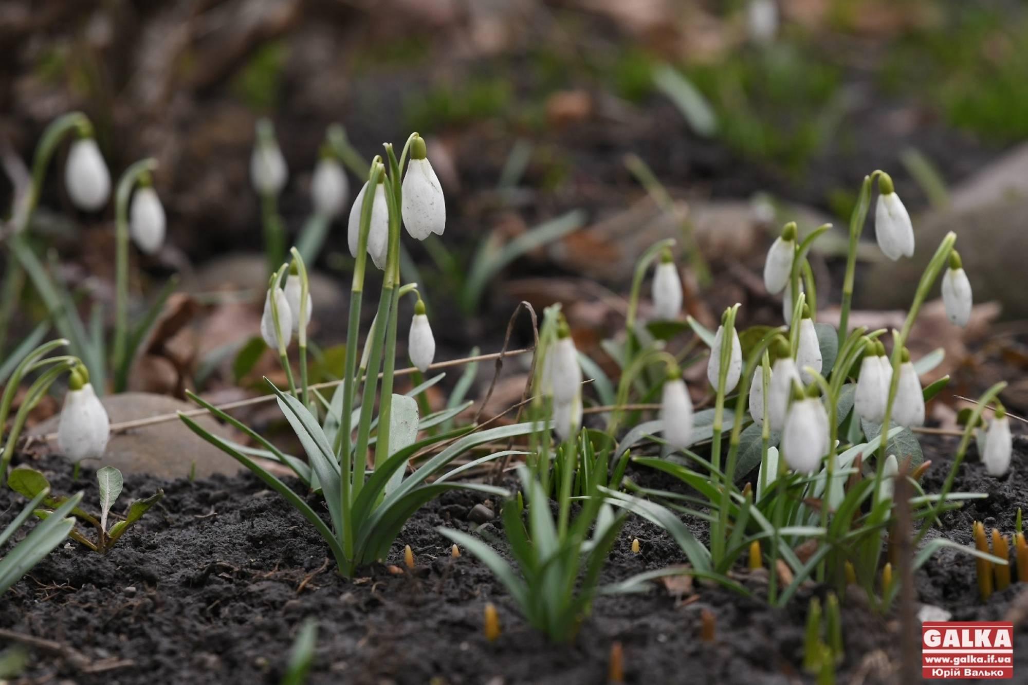 Весна вже в місті: підсніжники та проліски зійшли на вулицях Івано-Франківська (ФОТО)