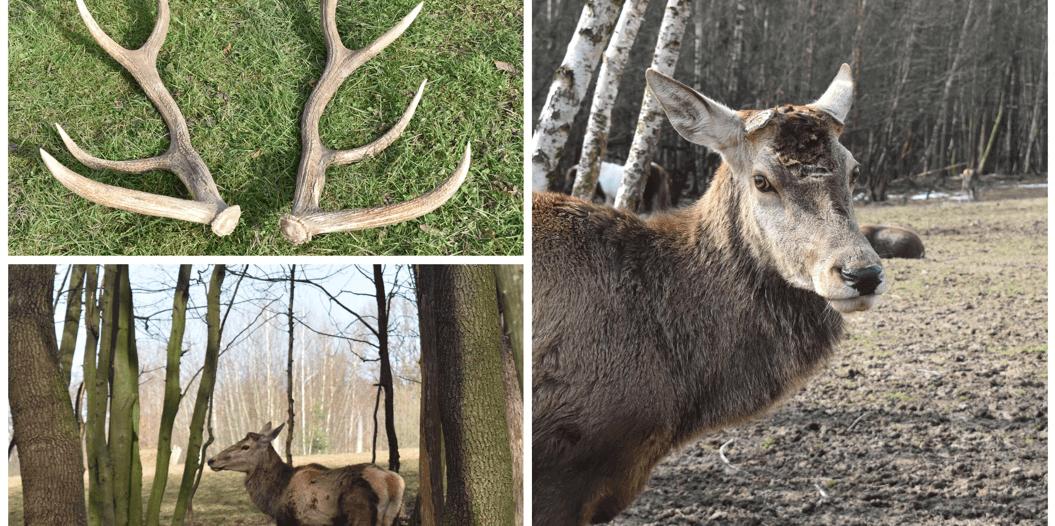 Благородний олень скинув роги у Галицькому нацпарку (ФОТО)