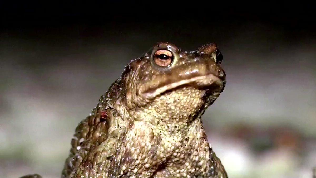 В Естонії на два тижні перекрили трасу заради сонних жаб (ВІДЕО)