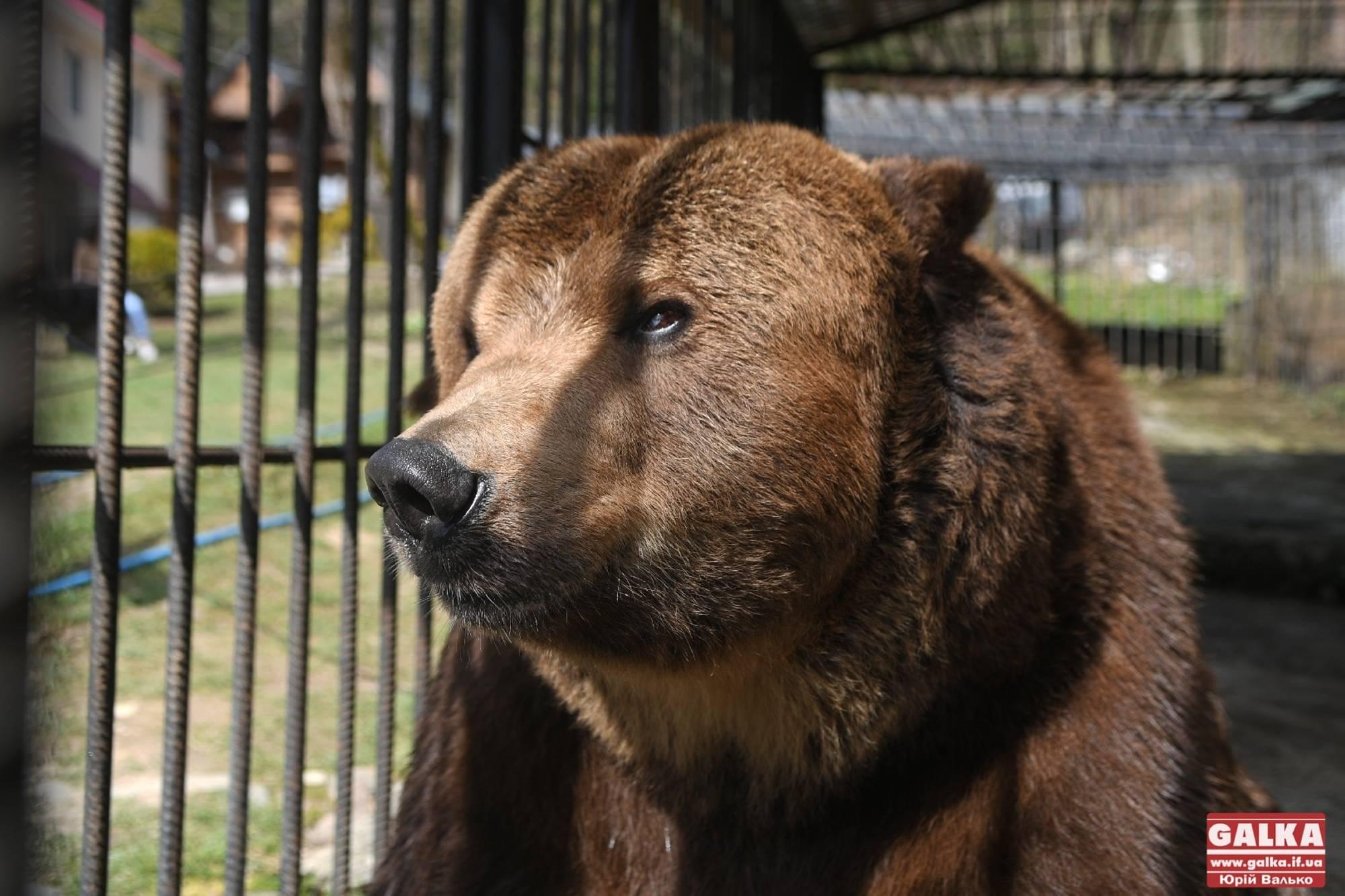 """Операція """"Врятувати Юру"""": відомого ведмедя з вольєра у Косові забрали у реабілітаційний центр (ФОТО, ВІДЕО)"""