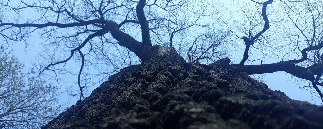 У Франківську почали лікувати 300-річний дуб та інші дерева-довгожителі (ФОТО)