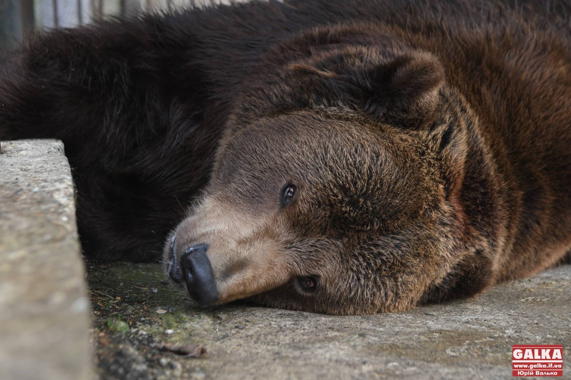 Не пережив операцію: помер ведмідь Юра, якого екоінспекція вилучила з косівського ресторану