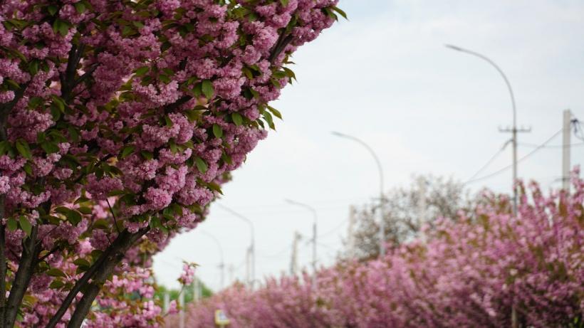 У Мукачеві масово зацвіли сакури (АТМОСФЕРНІ ФОТО)