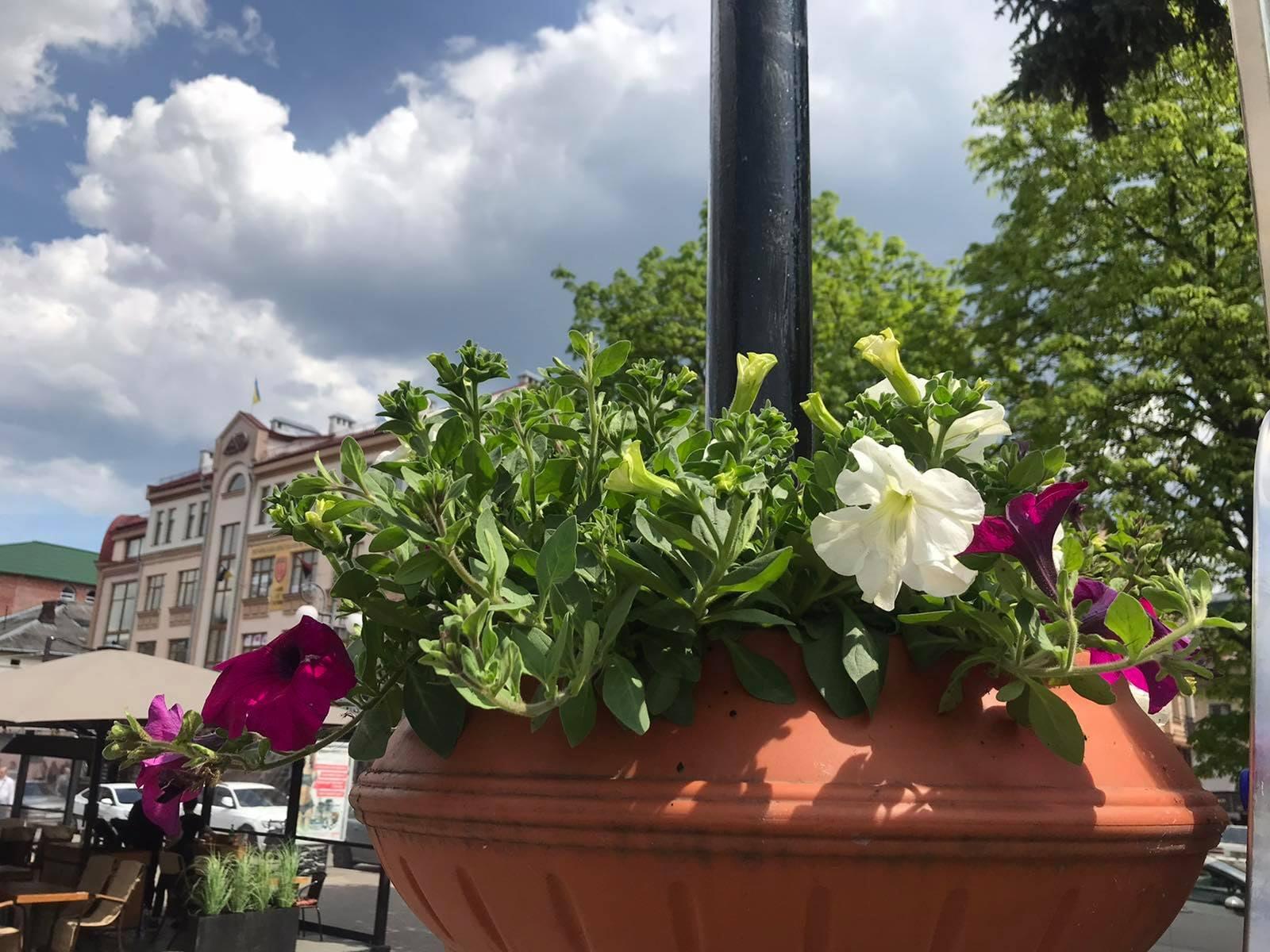 Цинерарія, петунія та лобелія: Франківськ активно прикрашають новими квітами (ФОТО)