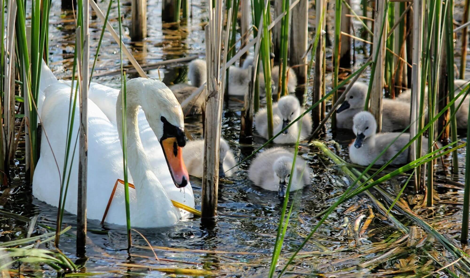 На Німецькому озері у лебедів Мартина і Мартусі з'явилася зграя малюків (ФОТО)