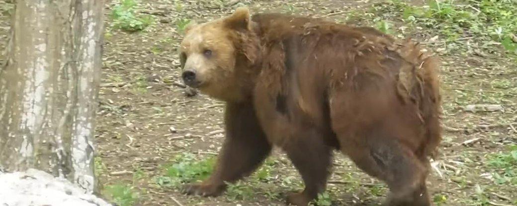 Замордованих ведмедів з-під Косова відправили до реабілітаційного центру на Хмельниччині