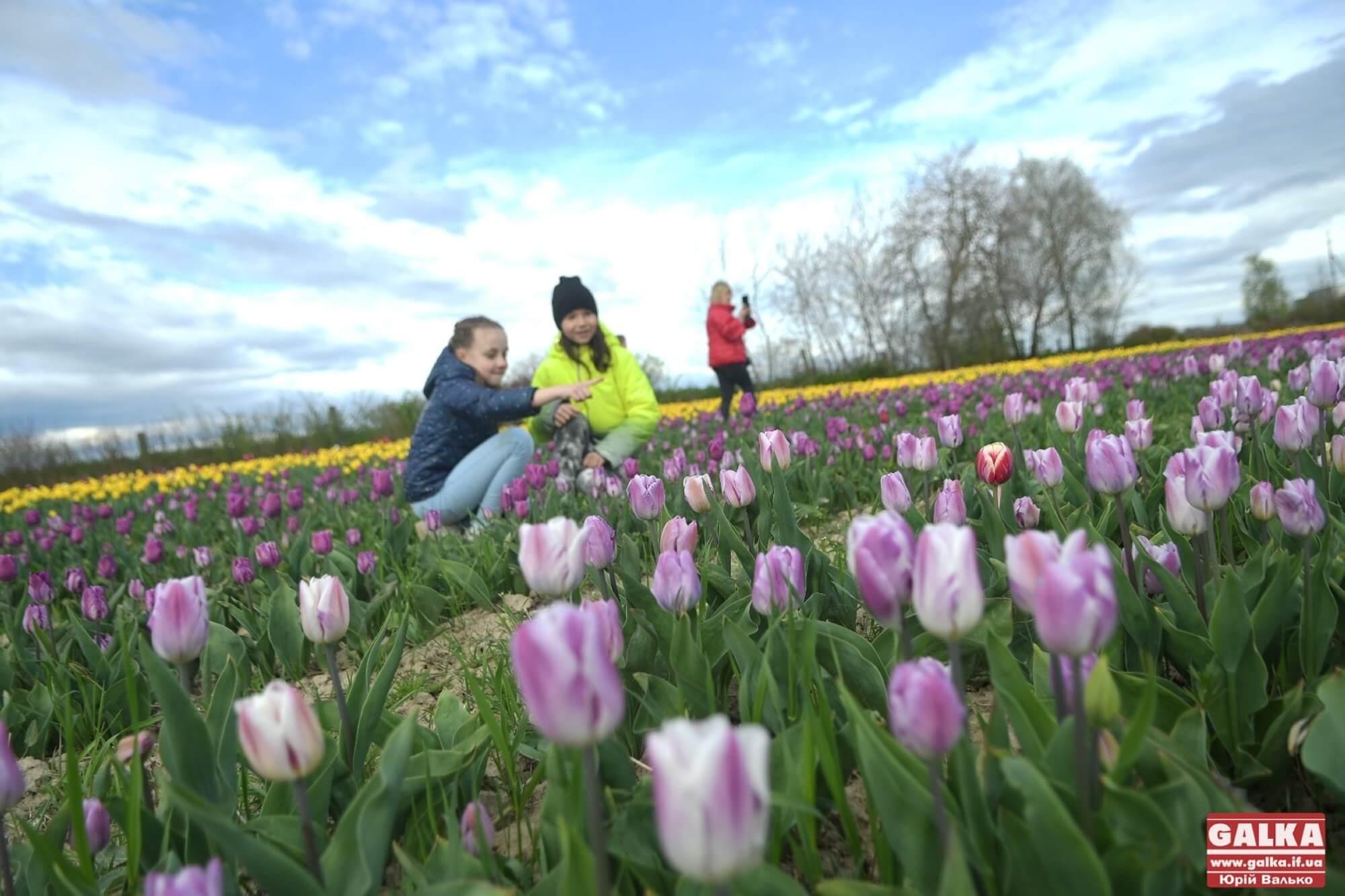 """Два мільйони квітів – під Франківськом розквітла """"Долина тюльпанів"""" (ФОТО)"""