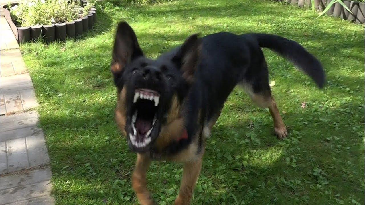 У Франківську агресивний собака напав на 9-річного хлопчика та патрульного: тварину застрелили (ВІДЕО)