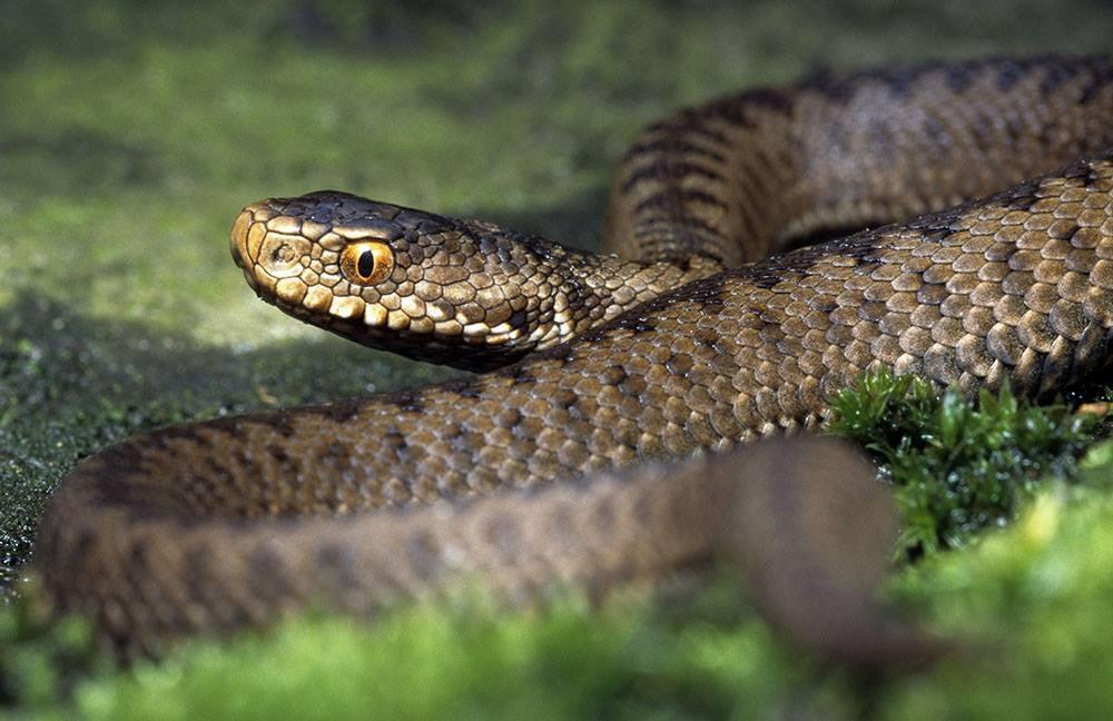 Змія вкусила 11-річного прикарпатця, він потрапив у реанімацію
