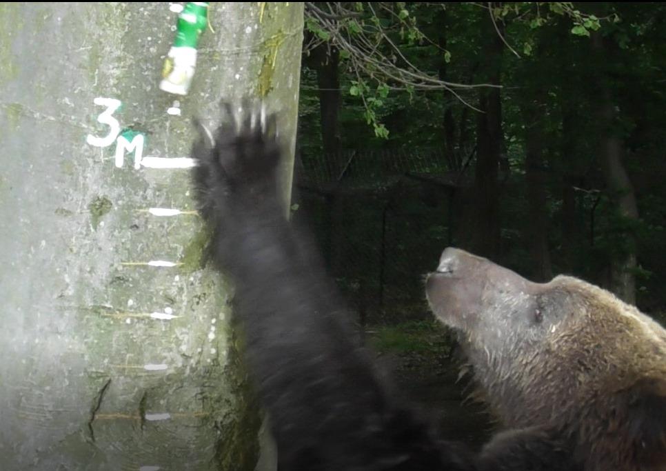 У Галицькому нацпарку ведмеді мірялися зростом. Кличуть позмагатися клишоногих з інших областей (ФОТО)